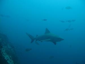 Bull Shark Chumphon Gulf of Thailand
